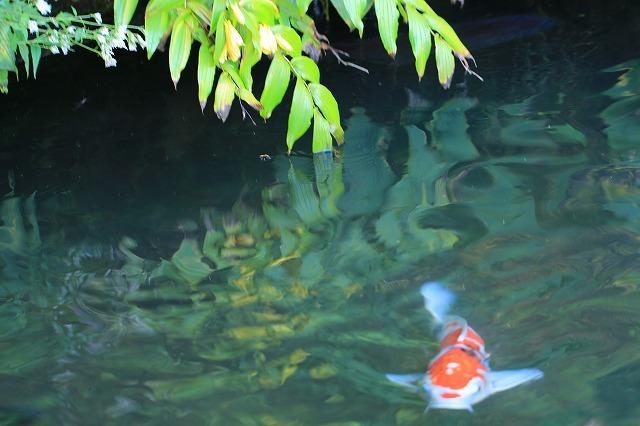 熊野那智大社のキイジョウロウホトトギスの花(撮影:10月11日)_e0321325_15595537.jpg
