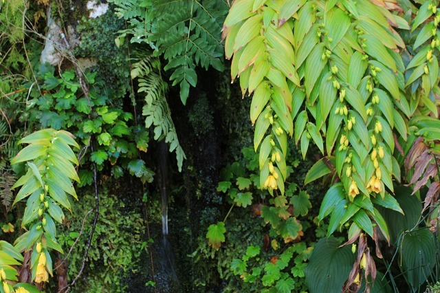 熊野那智大社のキイジョウロウホトトギスの花(撮影:10月11日)_e0321325_16000814.jpg