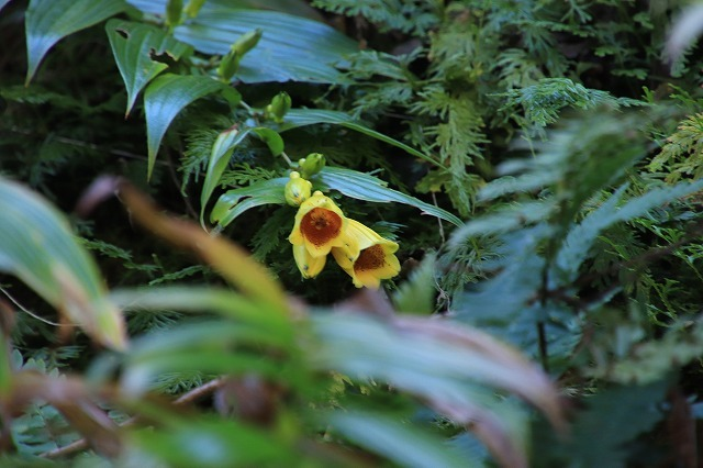 熊野那智大社のキイジョウロウホトトギスの花(撮影:10月11日)_e0321325_16012574.jpg