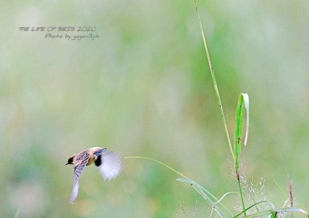 白ソバの花&ノビタキ_b0346933_21232610.jpg