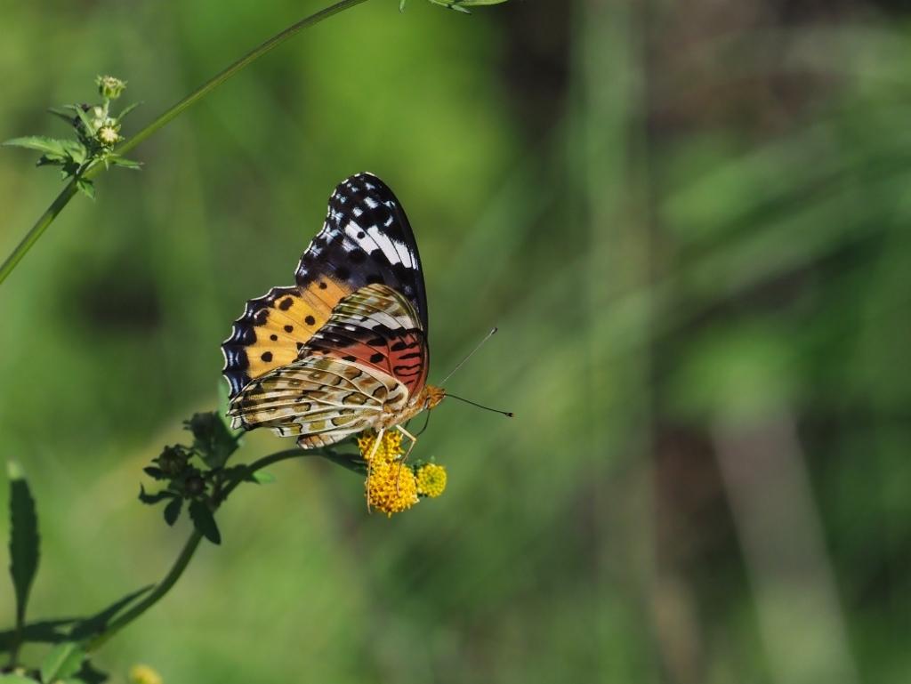 河原で見つけたキタキチョウの蛹ほか五目撮り_e0224357_19535477.jpg