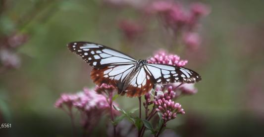 神秘の蝶 アサギマダラ_c0203062_08251087.png