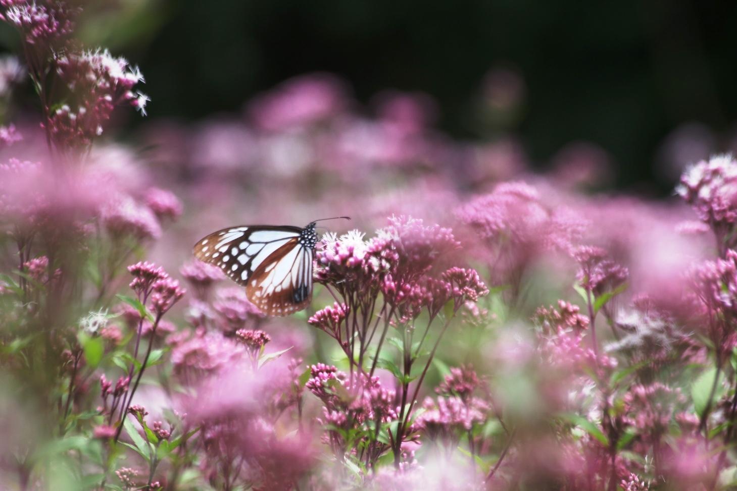 神秘の蝶 アサギマダラ_c0203062_08262942.jpeg