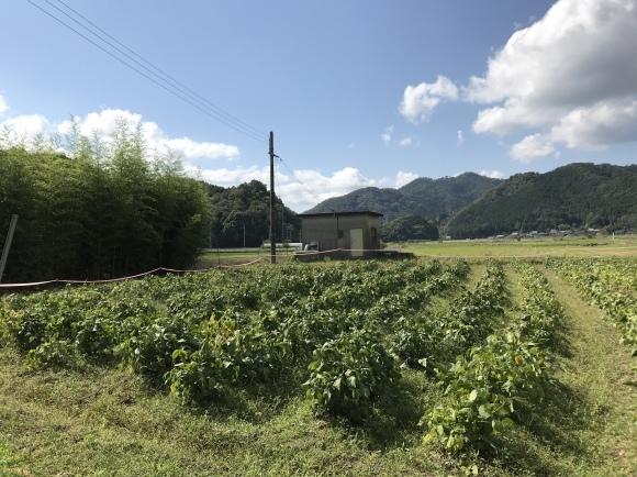 丹波篠山の黒枝豆2020_f0010195_21445733.jpeg