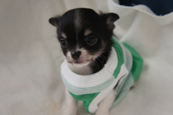 8月27日生まれのロングチワワ男の子一番小さい子_a0388110_18534180.jpg