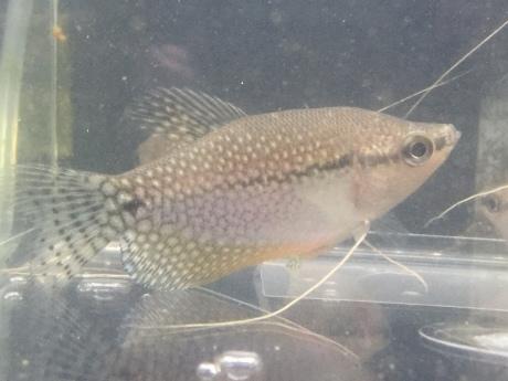 201015 熱帯魚 めだか 金魚 水草_f0189122_12215215.jpeg