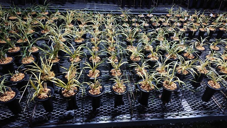 春蘭の植え替えは順調に進んでます_f0356792_18331957.jpg