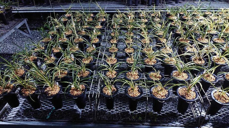 春蘭の植え替えは順調に進んでます_f0356792_18331966.jpg