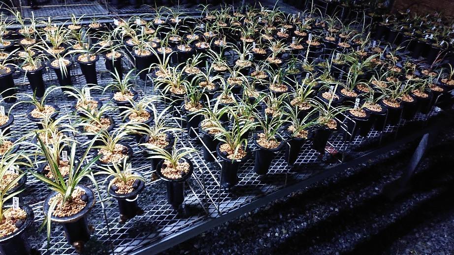春蘭の植え替えは順調に進んでます_f0356792_18332041.jpg