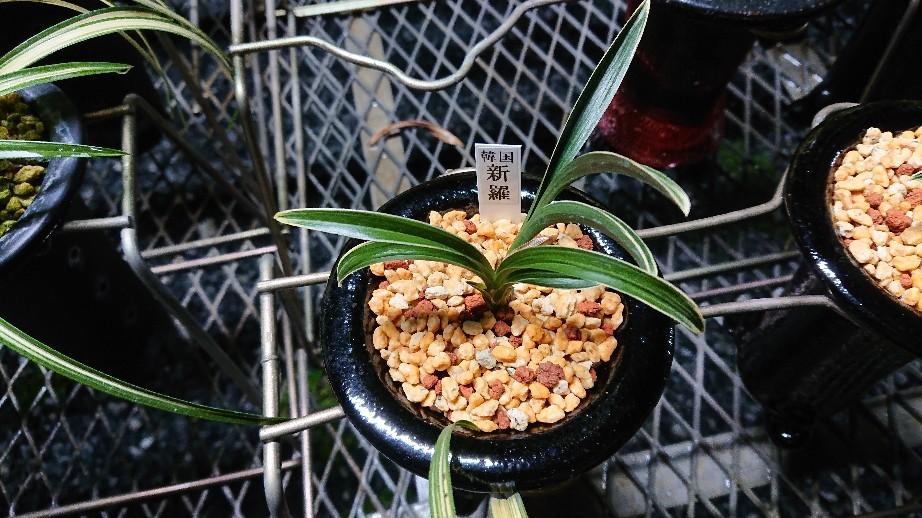 春蘭の植え替えは順調に進んでます_f0356792_18332070.jpg