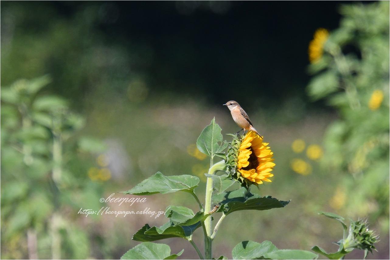 花とノビタキ_a0076493_17591748.jpg