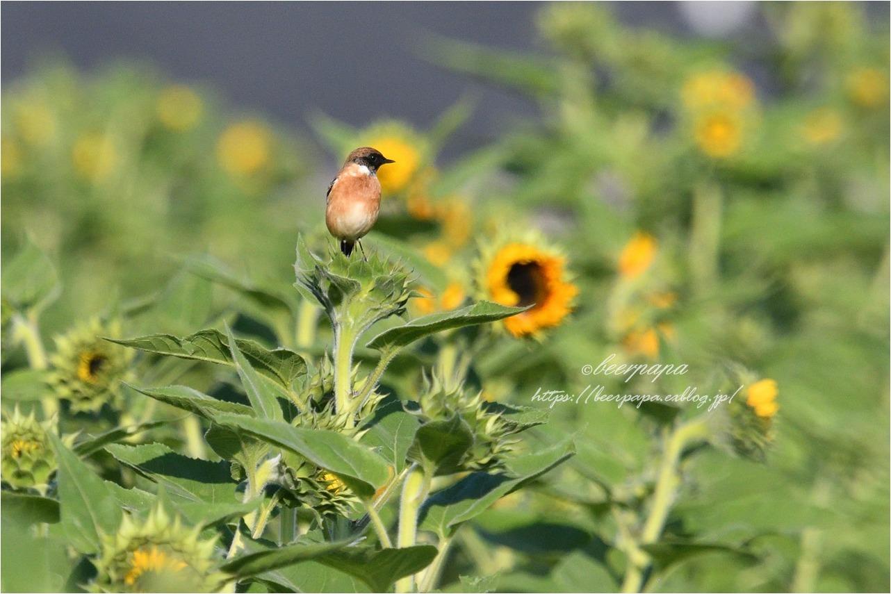 花とノビタキ_a0076493_17594109.jpg
