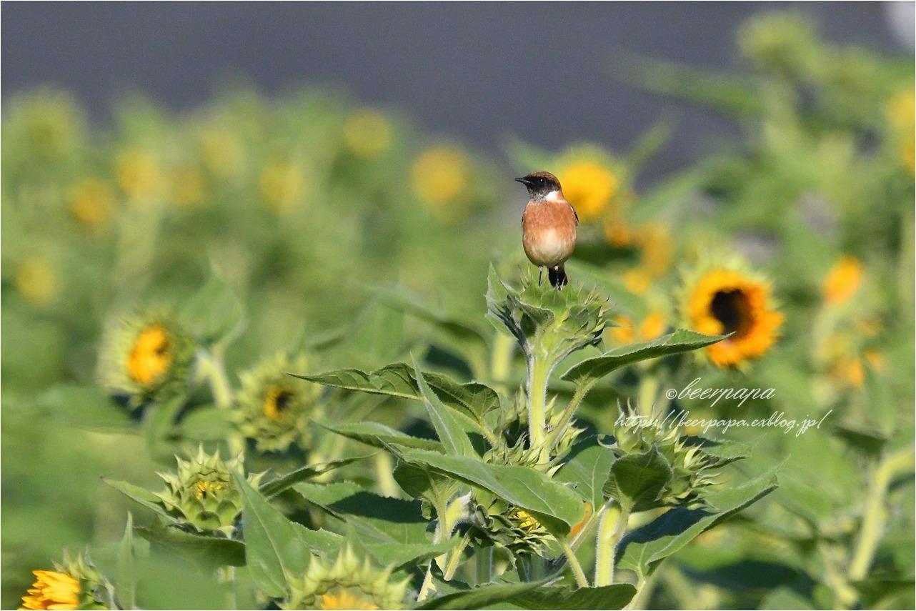 花とノビタキ_a0076493_17595202.jpg