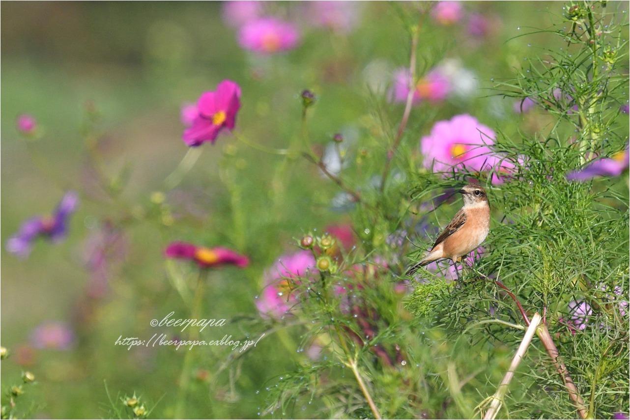 花とノビタキ_a0076493_18005035.jpg