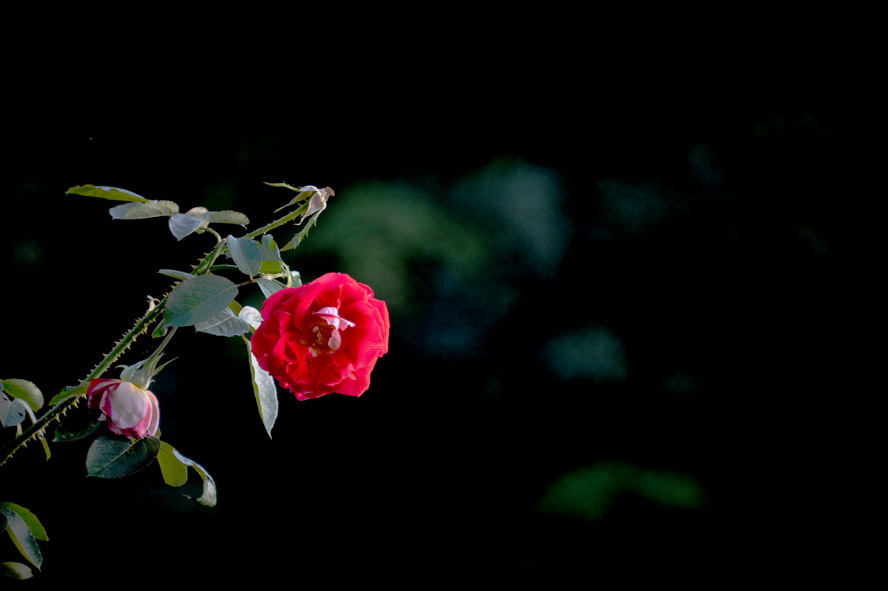 赤い薔薇_c0310894_12083758.jpg
