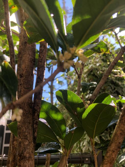 お店にある金木犀の花が開花し始めました^_^_b0119429_09570384.jpg