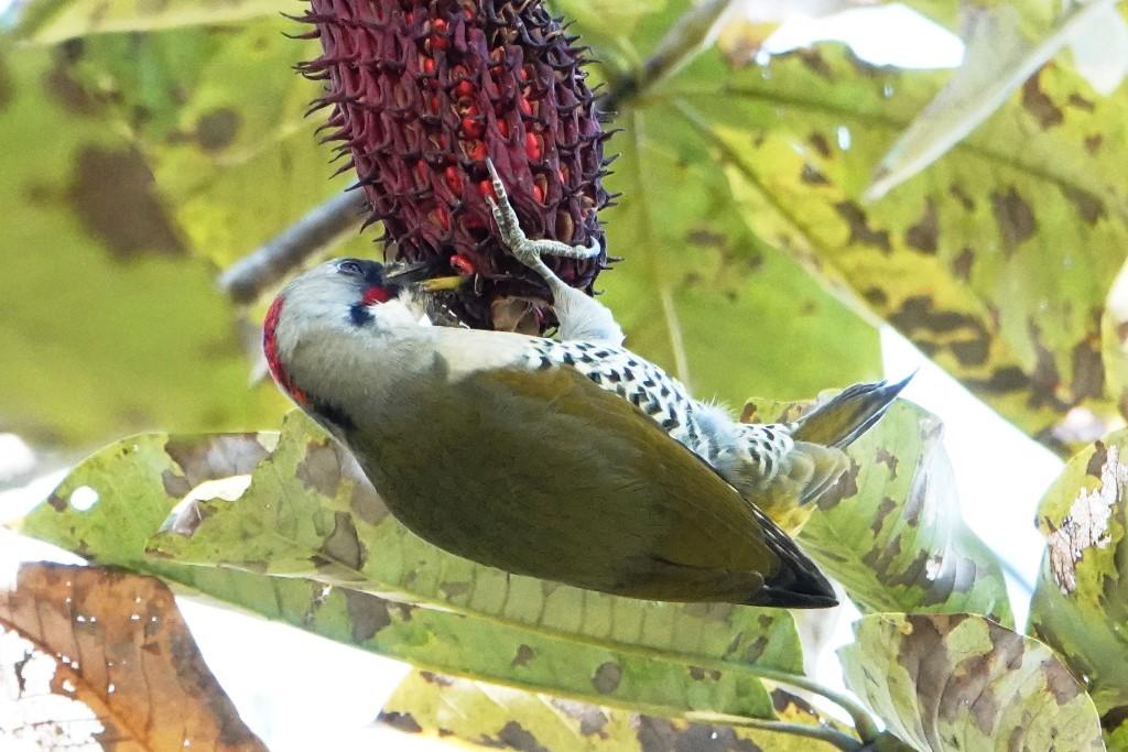 野鳥トレ 226 アオゲラなど_b0227552_19115775.jpg