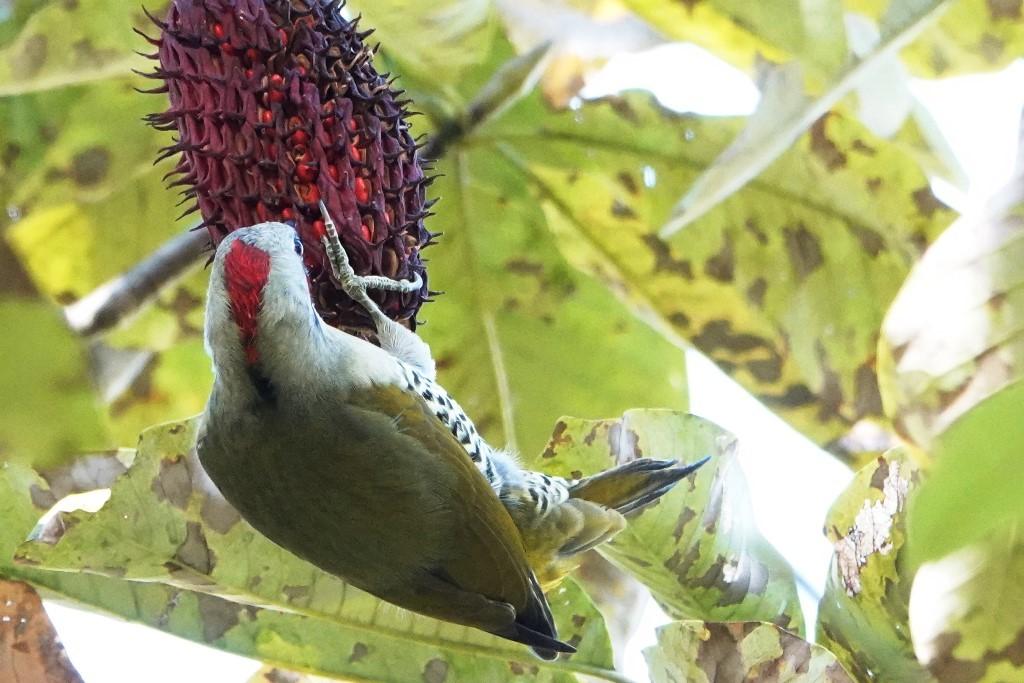 野鳥トレ 226 アオゲラなど_b0227552_19121455.jpg