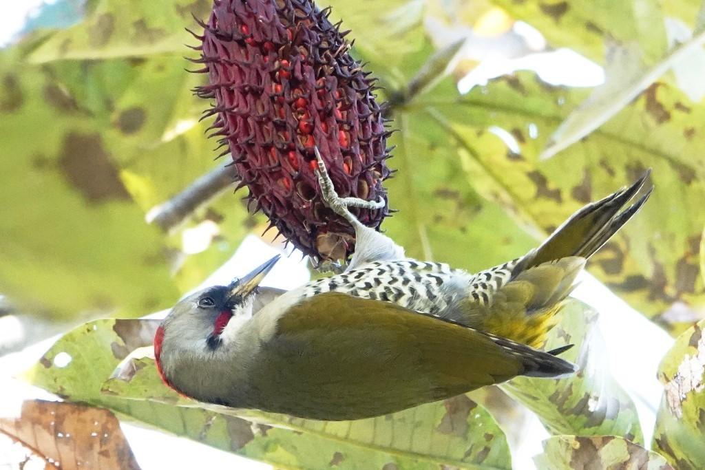 野鳥トレ 226 アオゲラなど_b0227552_19122646.jpg