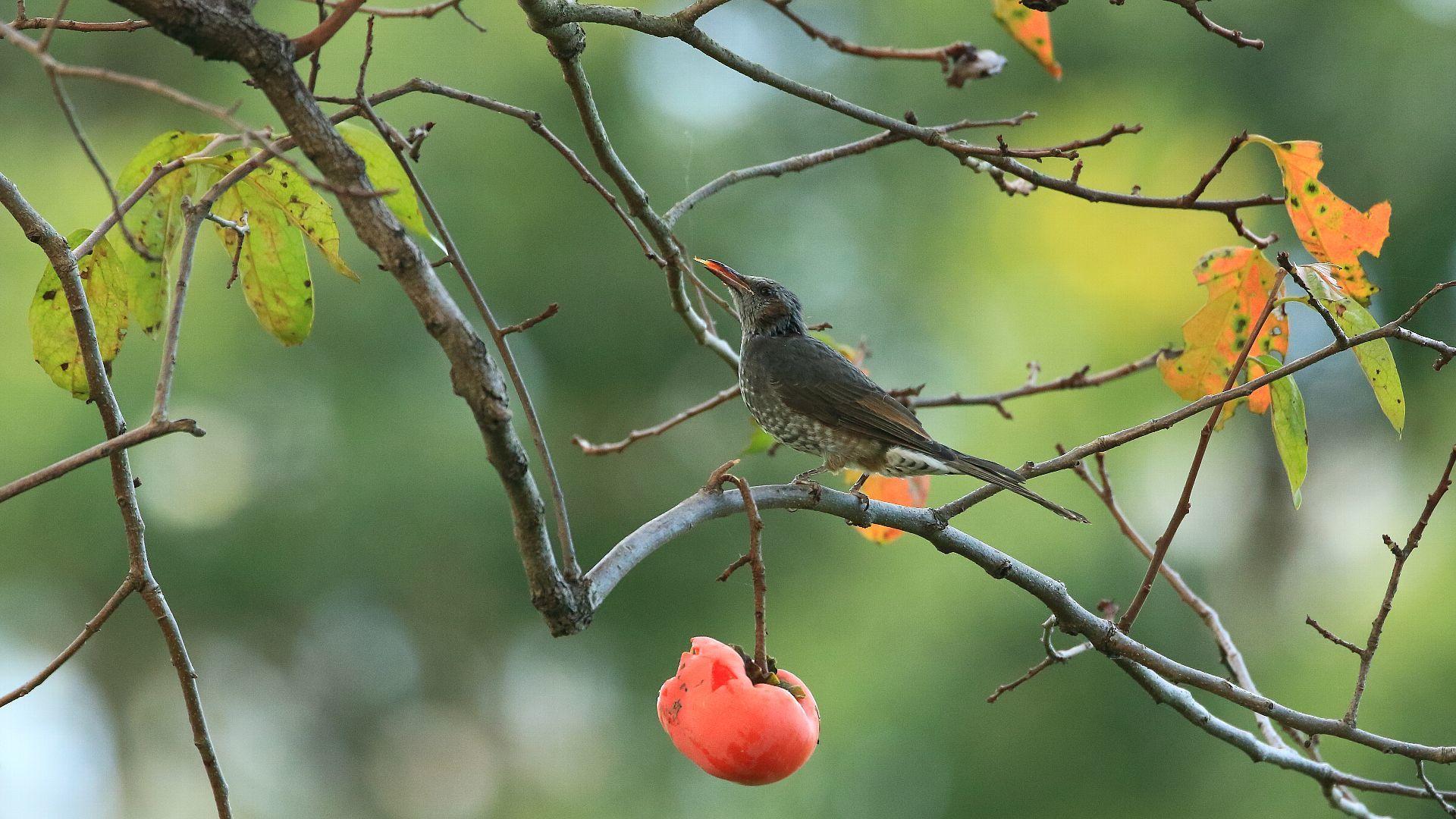 秋らしい柿の実とヒヨドリ_f0105570_21555982.jpg