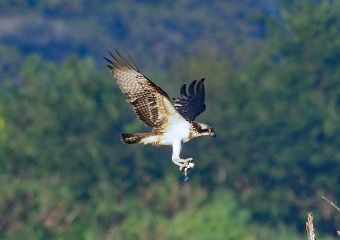 美しき湿原にミサゴがやって来た 13_d0290240_05275517.jpg