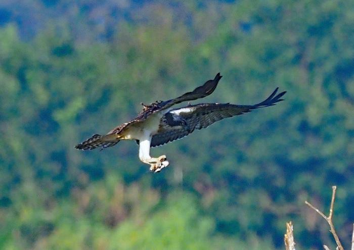 美しき湿原にミサゴがやって来た 13_d0290240_05275551.jpg