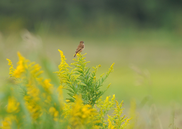 渡り鳥の立ち寄りです ノビタキ Ⅰ_d0290240_06151622.jpg