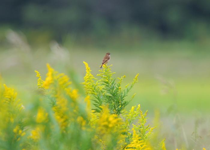 渡り鳥の立ち寄りです ノビタキ Ⅰ_d0290240_06151650.jpg