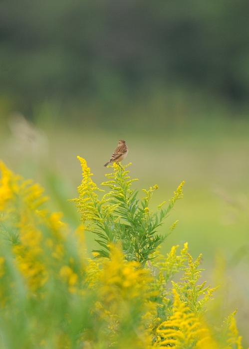 渡り鳥の立ち寄りです ノビタキ Ⅰ_d0290240_06151662.jpg