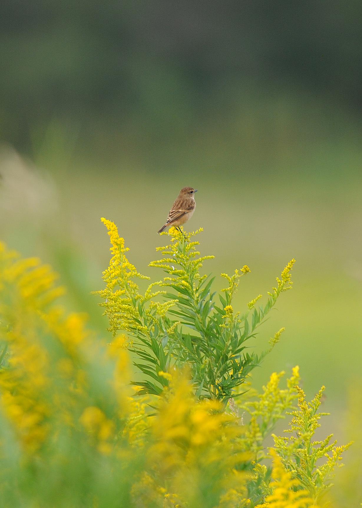 渡り鳥の立ち寄りです ノビタキ Ⅰ_d0290240_06151743.jpg