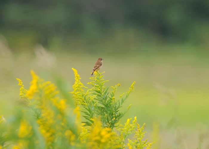 渡り鳥の立ち寄りです ノビタキ Ⅰ_d0290240_06151789.jpg