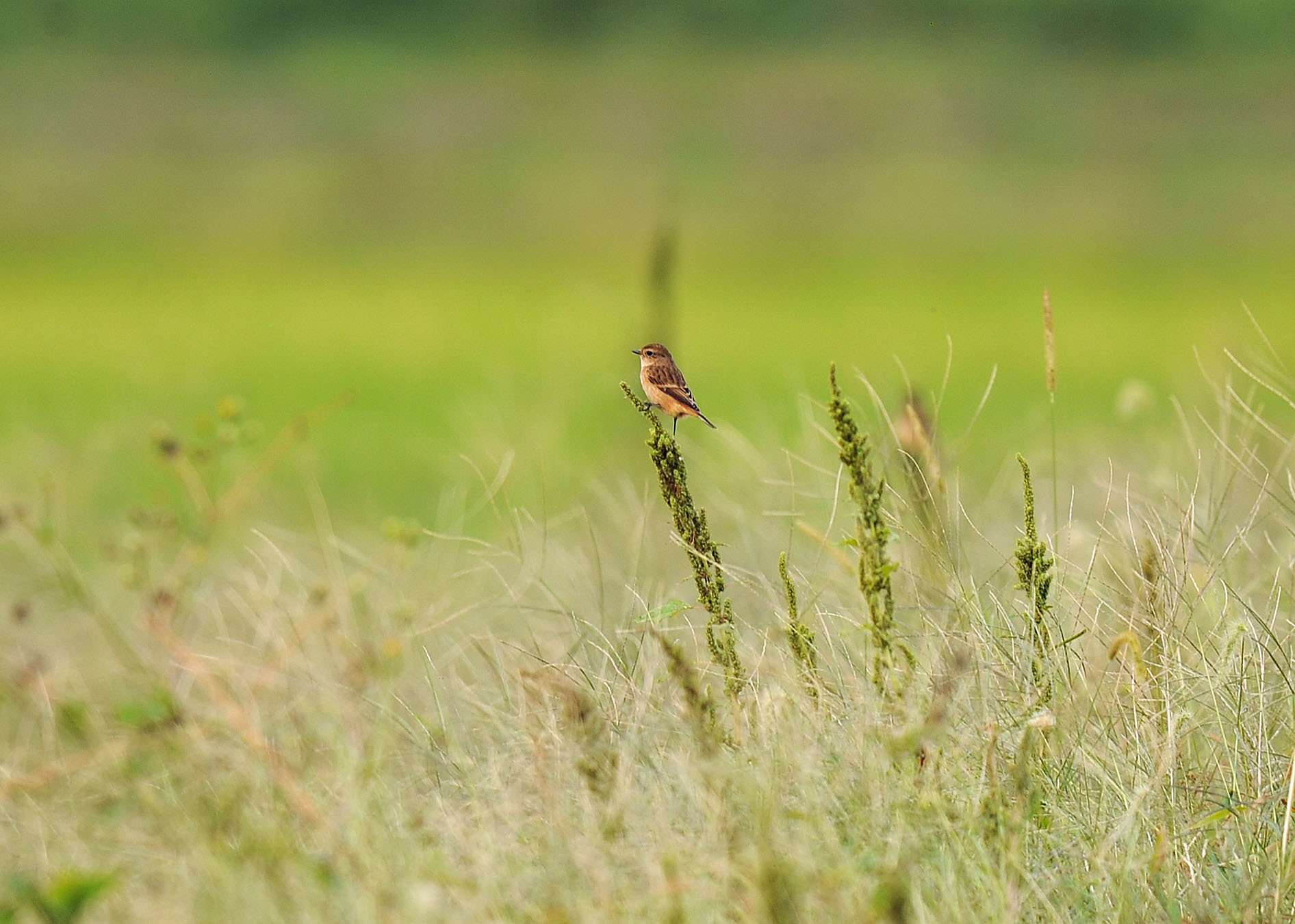 渡り鳥の立ち寄りです ノビタキ Ⅱ_d0290240_06180011.jpg