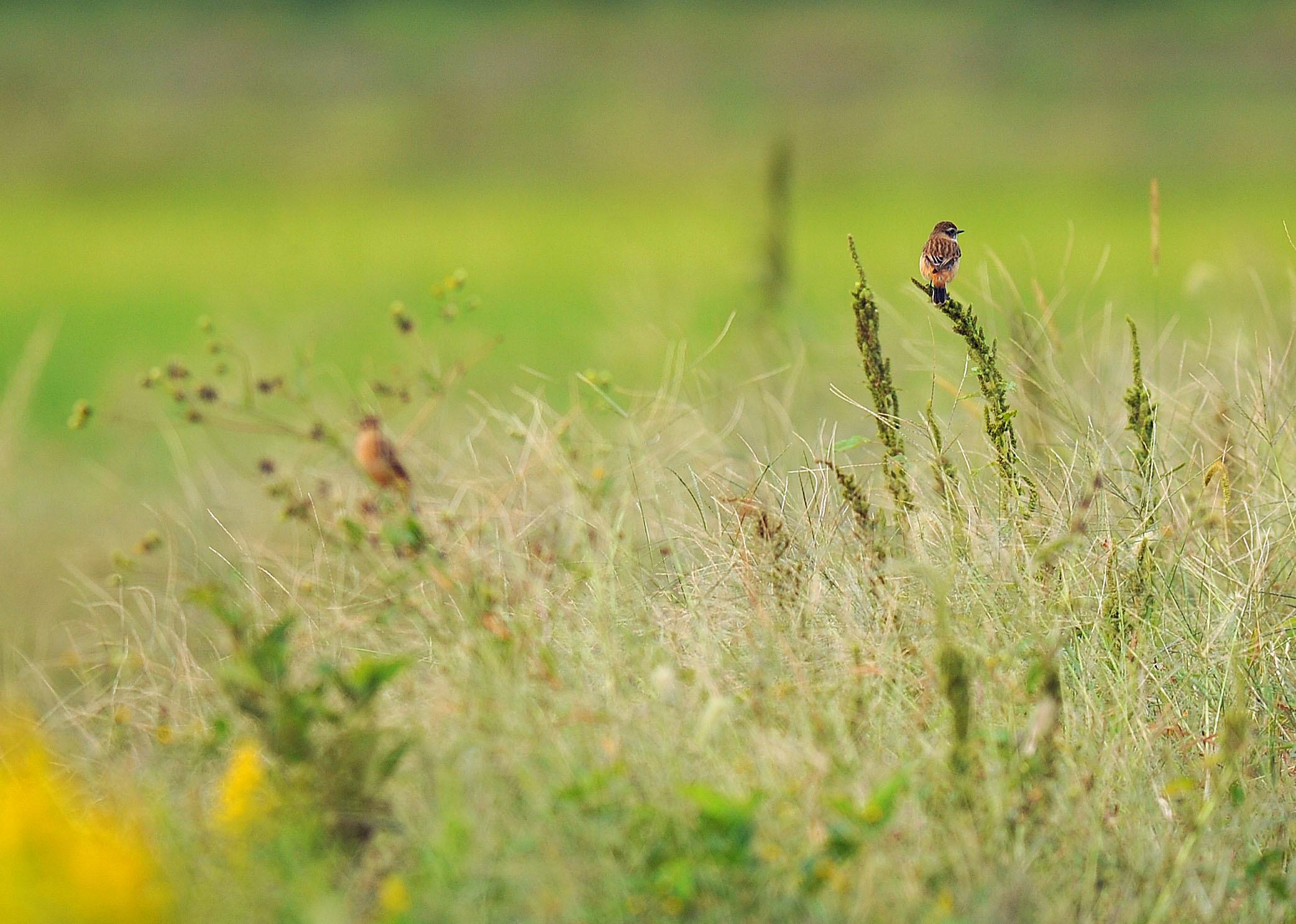 渡り鳥の立ち寄りです ノビタキ Ⅱ_d0290240_06180111.jpg