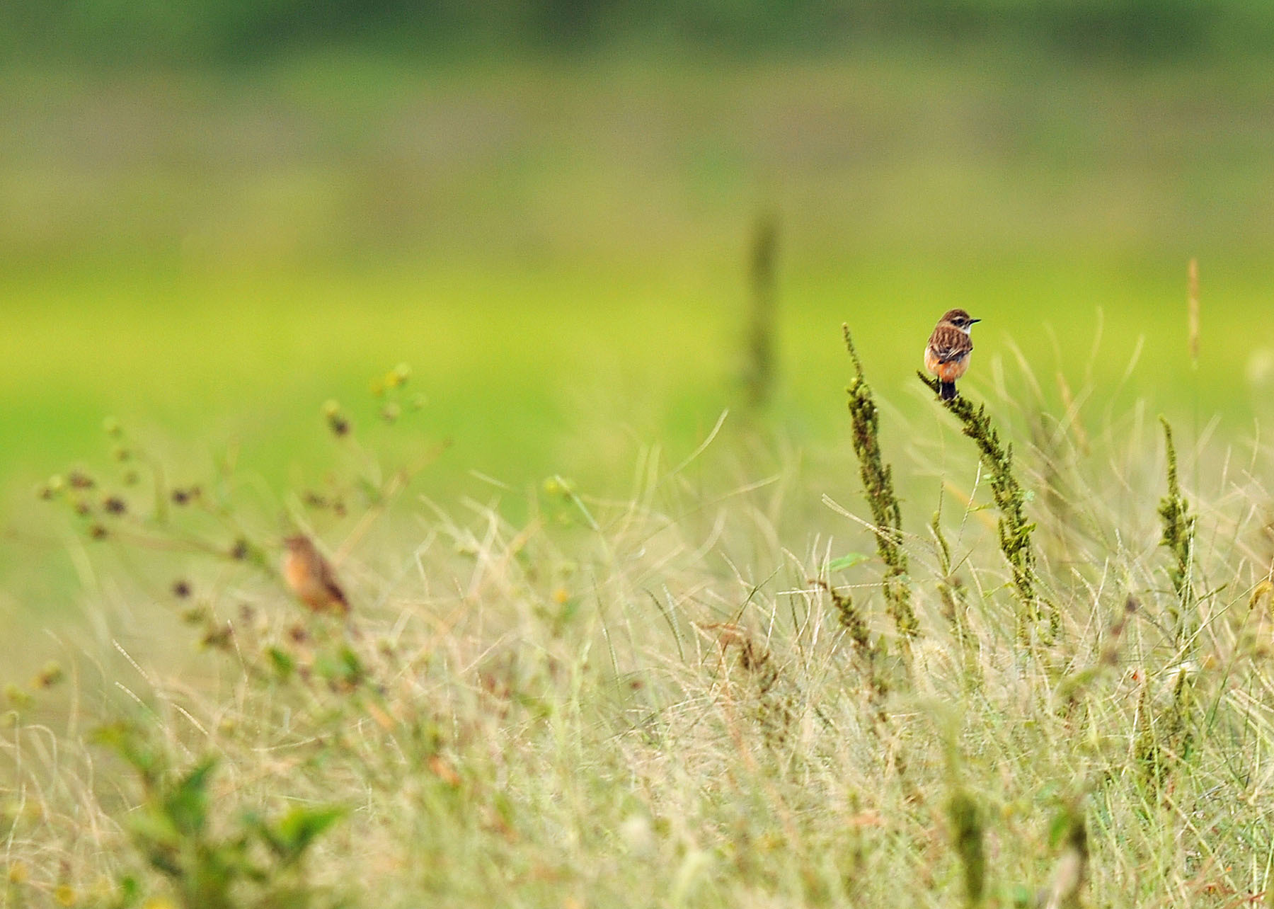 渡り鳥の立ち寄りです ノビタキ Ⅱ_d0290240_06180131.jpg