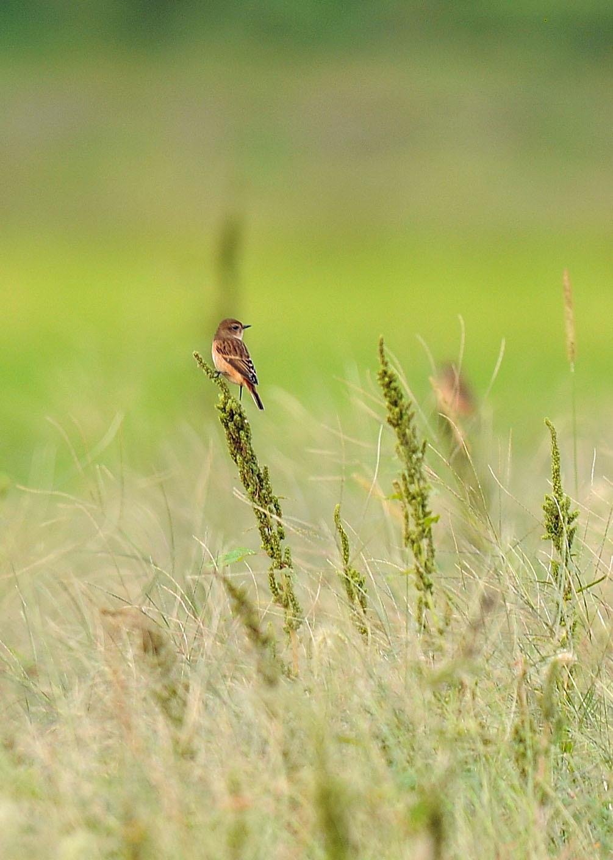 渡り鳥の立ち寄りです ノビタキ Ⅱ_d0290240_06180150.jpg