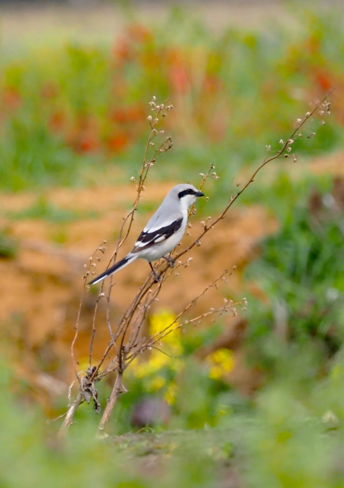 湿原の初秋にモズが、ごあいさつ_d0290240_06483199.jpg