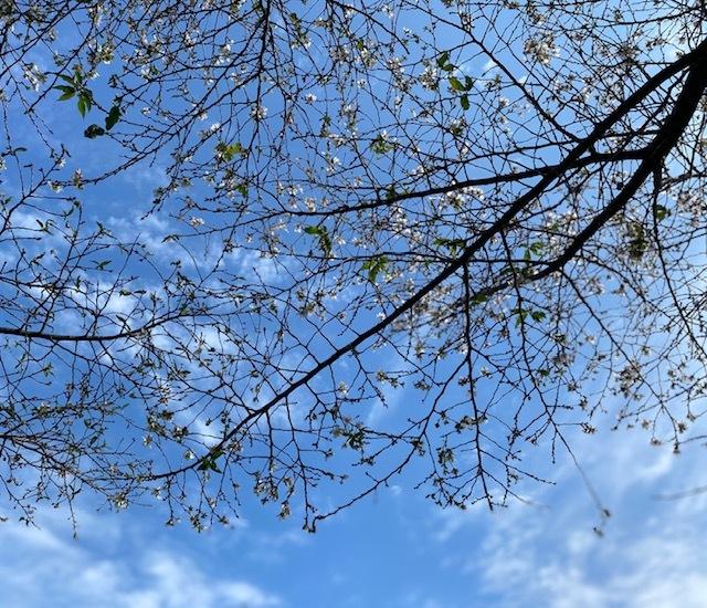 walking   秋晴れの十月桜_a0165160_15380822.jpg