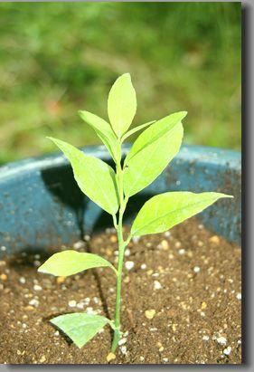 「レモンの木を植える」_f0322282_13593576.jpg
