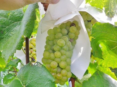 ヴォータノワインさんの収穫作業のお手伝い~~。_a0353718_19392164.jpg