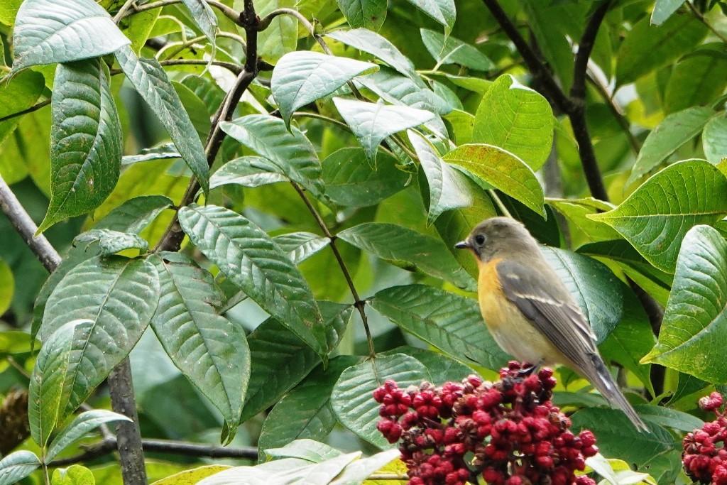 野鳥トレ 227 ムギマキ_b0227552_20574661.jpg
