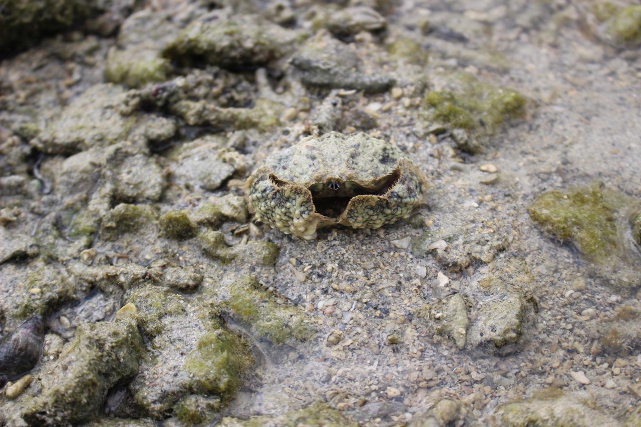 ネコクラブABC合同-06◆秋の干潟で収穫まつり(10/17)沖縄随一の干潟、泡瀬干潟で丸一日潮干狩りにチャレンジ。貝もカニもいっぱいで、お腹いっぱいになりました!_d0363878_00133574.jpeg
