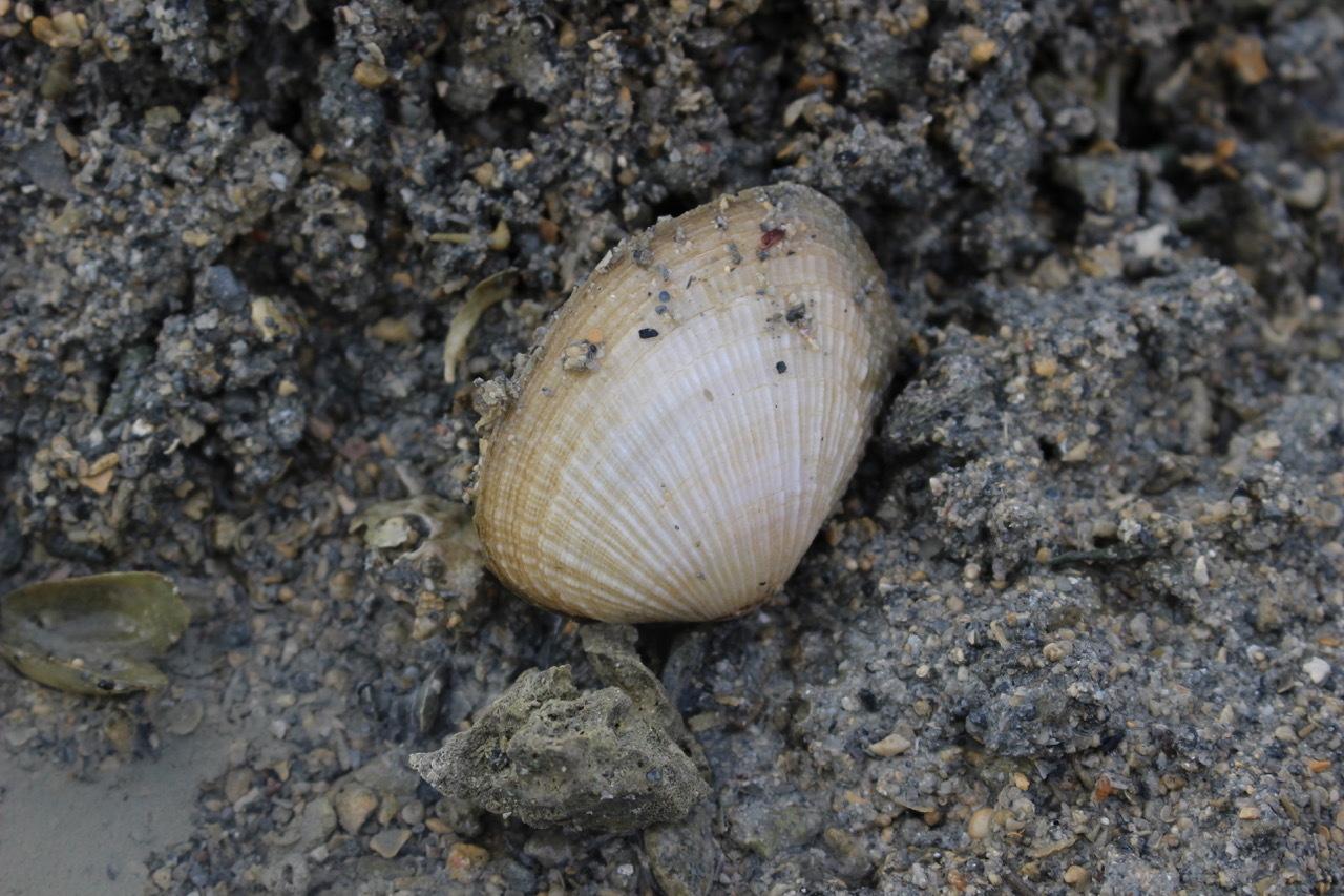 ネコクラブABC合同-06◆秋の干潟で収穫まつり(10/17)沖縄随一の干潟、泡瀬干潟で丸一日潮干狩りにチャレンジ。貝もカニもいっぱいで、お腹いっぱいになりました!_d0363878_00135287.jpeg