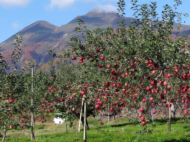 岩木山もリンゴも秋色に~♪_a0136293_16462697.jpg