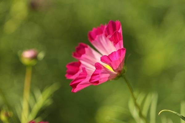 秋桜の孤独_b0328557_18310445.jpg
