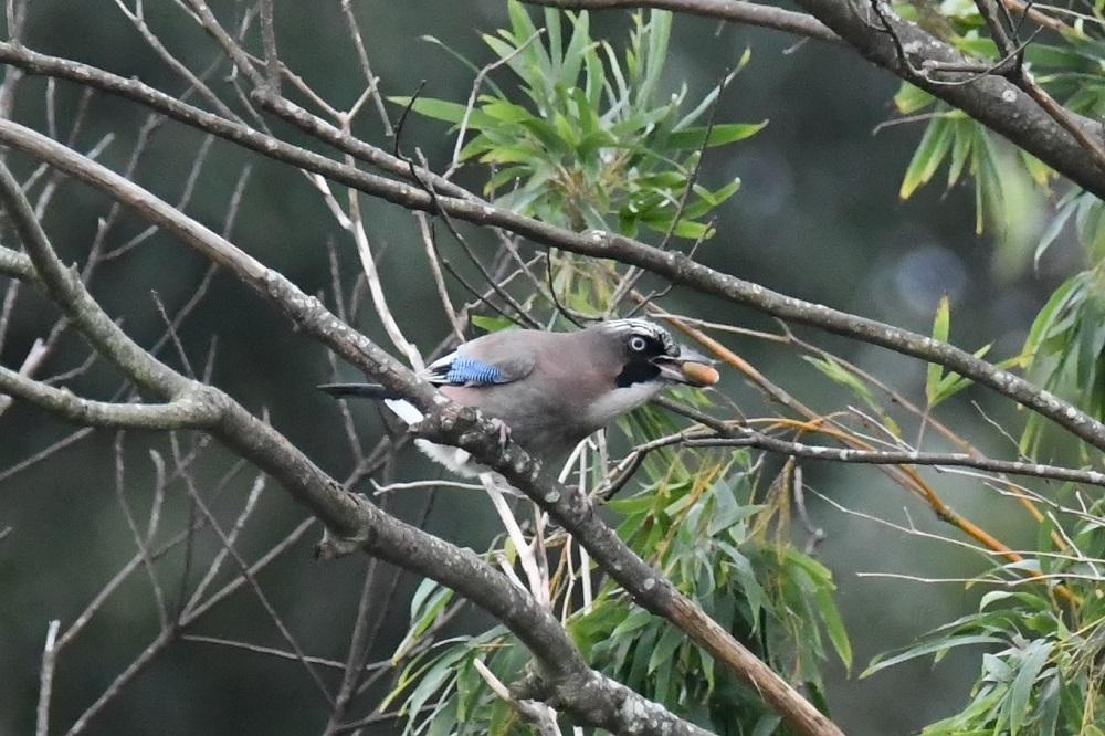 まだまだ見れる渡り途中の小鳥たち★先週末の鳥類園(2020.10.17~18)_e0046474_00553451.jpg