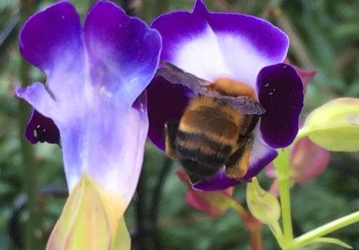 花とみかんとクマバチと_f0162908_20232361.jpg