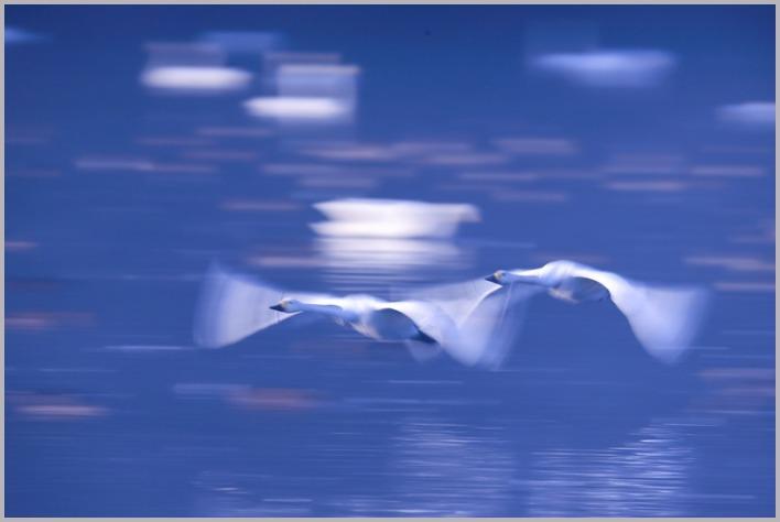 2020年(秋)白鳥5 _a0123239_14360251.jpg