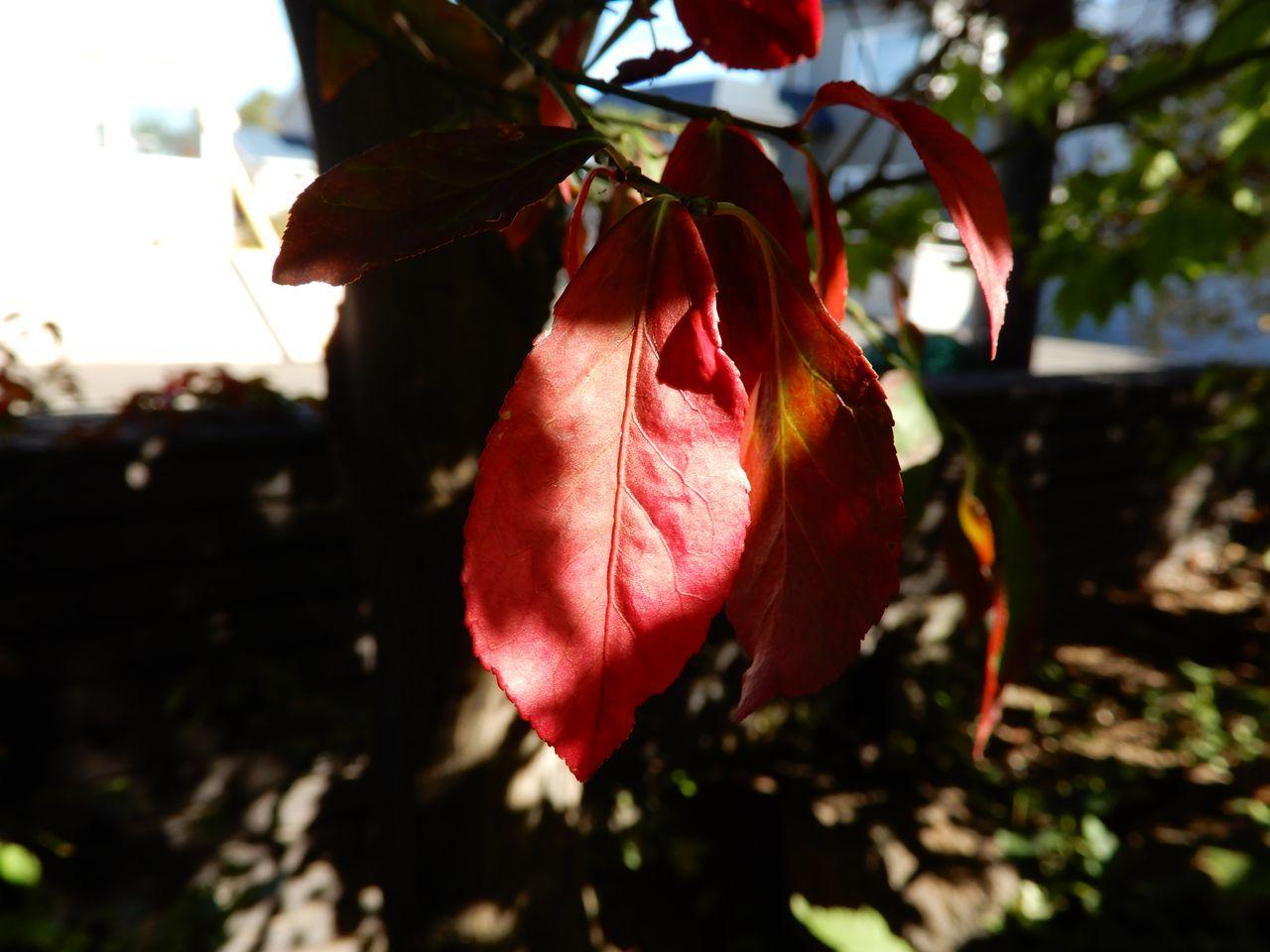 この秋一番の寒さにライラックの狂い咲き_c0025115_21235485.jpg