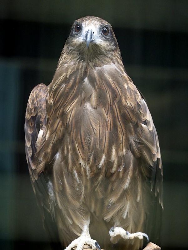 八木山動物公園の猛禽類たち_f0224624_22590903.jpg