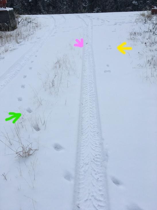 雪の上の足跡 ~ アカギツネ、かんじきウサギ_b0135948_13332631.jpg